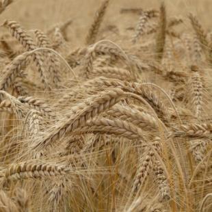 Il prezioso grano Senatore Cappelli